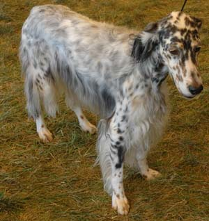 english setters are an excellent all around upland bird dog