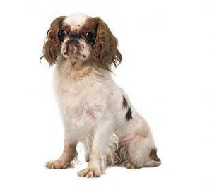 The English Toy Spaniel is a compact, cobby and essentially square toy dog