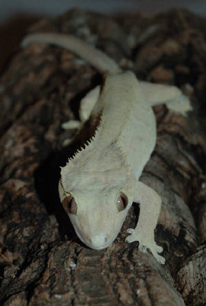 the Crested Gecko is arboreal