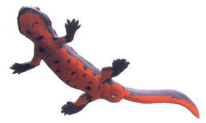 The Fire Belly Newt comes from Japan and parts of China.