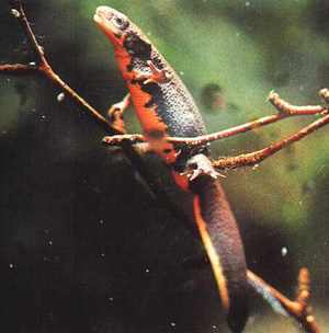 Eastern Newts live in ponds