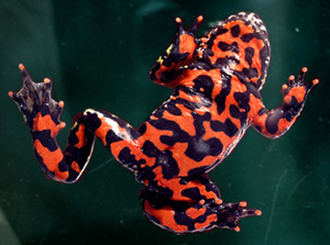 fire-bellied toad bombina orientalis