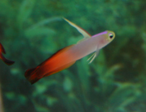 The firefish is a passive fish