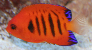 The flame angelfish comes from the Western-South and Central-Pacific ocean