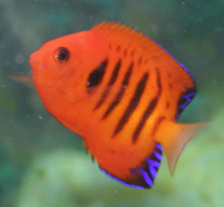 Flame angelfish in general can be kept with small non-aggressive fish
