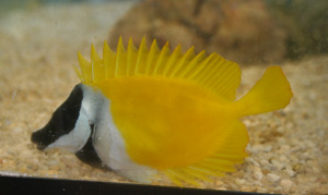 Foxface rabbitfish spines are poisonous