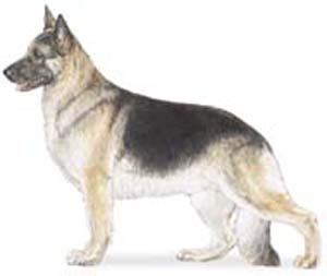 The german shepherd has a distinct personality marked by direct and fearless, but not hostile, expre