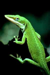 Anoles are a popular pet