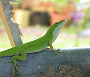 Green anoles come from the southeastern United States, Cuba, Jamaica, and other Caribbean islands