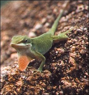 Anoles do well kept in small groups consisting of one male and 2-3 females