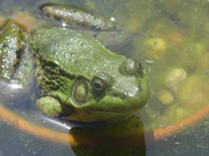 male green frog - notice the size of the tympanic mambrane