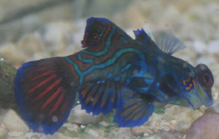The green mandarinfish as picture shows is quite a colorful fish