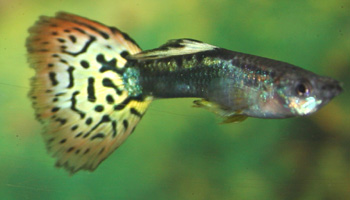 Guppies are the standard along with bettas and goldfish.