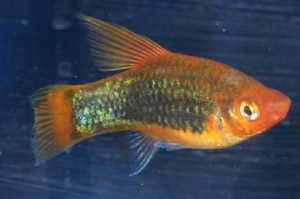 Platy in general can be kept with most other species