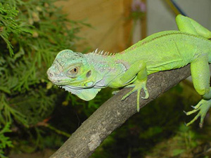 An iguana can grow up to 6 feet.