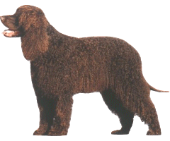The Irish Water Spaniel presents a picture of a smart, upstanding strongly built sporting dog