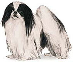 The Japanese Chin is a small, well balanced, lively, aristocratic toy dog with a distinctive Orienta