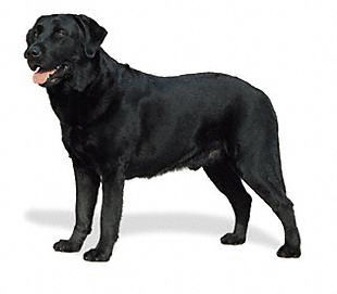 The Labrador Retriever is a strongly built, medium-sized, short-coupled, dog