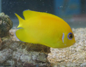 Lemonpeel angelfish grow to about 5.5 inches