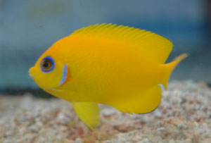 Lemonpeel angelfish are not recommended for reefs