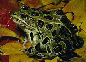 leopard frog information including size, life span and range