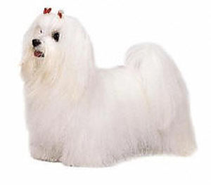 The Maltese is a toy dog covered from head to foot with a mantle of long, silky, white hair