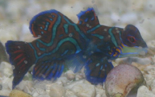 The green mandarinfish comes from the West-Pacific ocean region