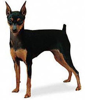 The Miniature Pinscher is structurally a well balanced, sturdy, compact, short-coupled, smooth-coate