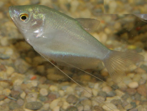 The moonlight gourami is generally a peaceful fish.
