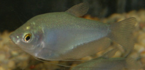 The maximum length of a moonlight gourami is 6.0 inches