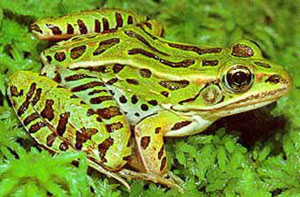 Leopard frogs are native to North America