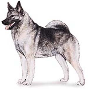 The Norwegian Elkhound is a hardy gray hunting dog.