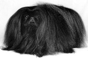 The Pekingese is a well-balanced, compact dog of Chinese origin