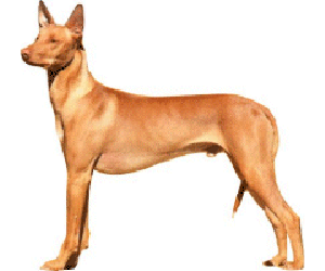 Pharaoh Hound are Intelligent, friendly, affectionate and playful