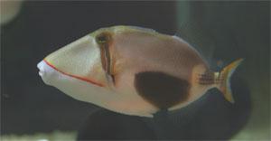 Picasso - also called Humuhumu - triggerfish come from the Indo-Pacific ocean region
