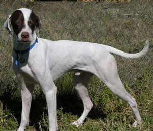 The Pointer is bred primarily for sport afield