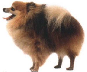 The Pomeranian is a compact, short-backed, active toy dog.