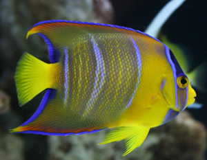 The queen angelfish is a medium level fish to maintain.