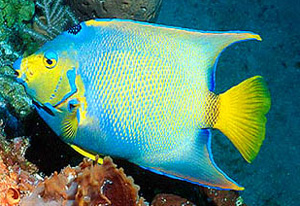 Be forewarned that like other large angelfish, adult queen angelfish may not reach the full color po