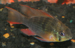 The ram cichlid comes from Venezuela and Columbia.