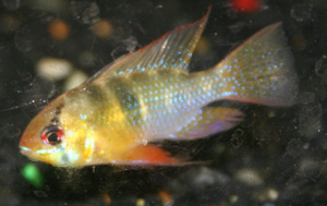 The ram cichlid is a good looking freshwater fish