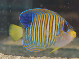 Regal angelfish directory for Fish compatible with angelfish