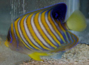The regal angelfish is one of the larger angelfish