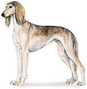 whole appearance of the saluki should give an impression of grace and symmetry