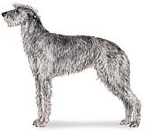 A Deerhound should resemble a rough-coated Greyhound of larger size and bone