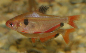 Serpae tetra in general can be kept with most other species