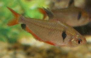 The Serpae tetra comes from Amazonia.