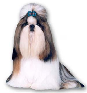 The Shih Tzu is a sturdy, lively, alert toy dog with long flowing double coat.