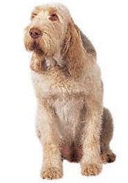 The profile of the Spinone is unique to this breed.
