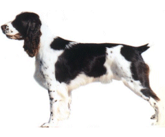 English springer spaniels are high energy dogs and excellent hunters
